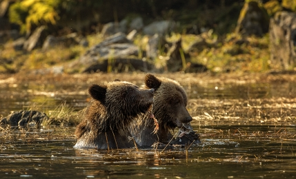 <h5>Grizzly Cubs D522181</h5>