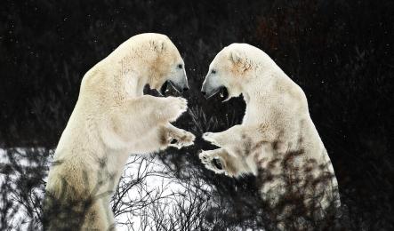 <h5>Polar Bears 6523</h5>