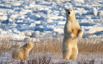 <h5>Churchill Polar bears</h5>