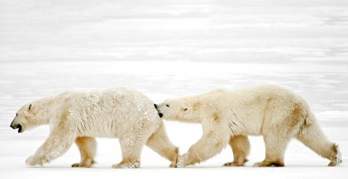 <h5>Polar Bears 6904</h5>