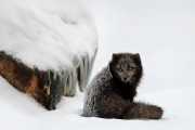 <h5>Blue Arctic Fox D859438</h5>