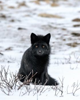 <h5>Blue Arctic Fox _D852241 </h5>