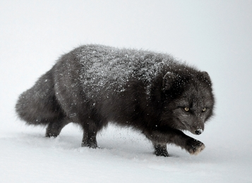 <h5>Blue Arctic Fox _D859609</h5>