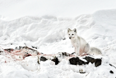 <h5>Arctic Fox D4S2711 </h5>