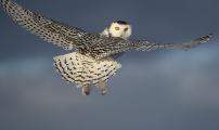 <h5>Snowy Owl D852702 </h5>