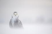 <h5>Snowy Owl D852631</h5>