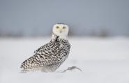 <h5>Snowy Owl D852498</h5>