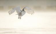 <h5>Snowy Owl D852673</h5>