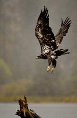 <h5>Juvenile Eagle D850186</h5>