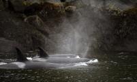 <h5>Orcas D859843.</h5>