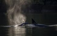 <h5>Orcas MVP467</h5>