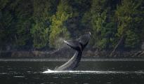 <h5>Humpback whale MVP0421</h5>