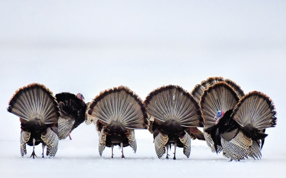 <h5>Wild Turkeys 5000647</h5>
