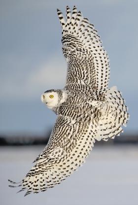 <h5>Snowy Owl D852706</h5>