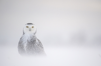 <h5>Snowy Owl D852561 </h5>