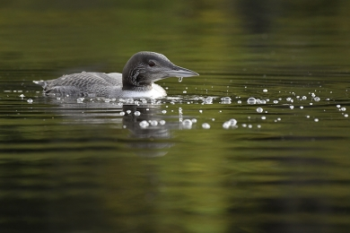 <h5>Loon D850626 </h5>