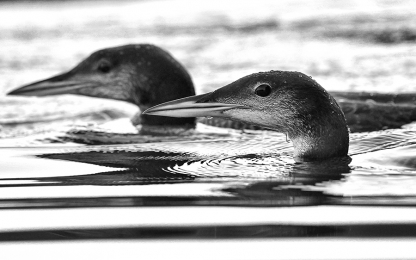 <h5>Loon Chicks 850846</h5>