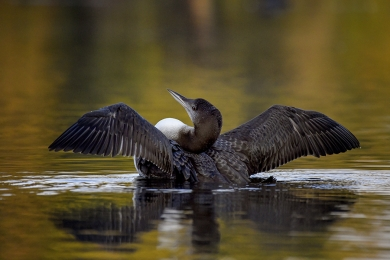 <h5>Loon Chick 850866</h5>