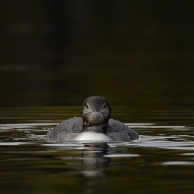 <h5>Loon Chick_D850613</h5>