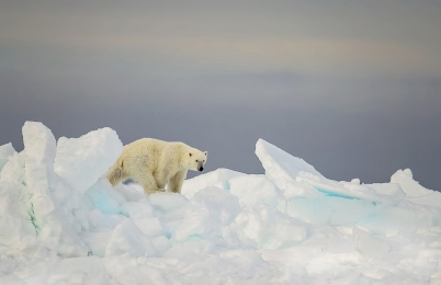 <h5>Pond Inlet Floe-Edge Polar Bear D5S0207</h5>