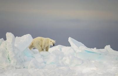 <h5>Pond Inlet Floe-Edge Polar Bear D5S0207 </h5>