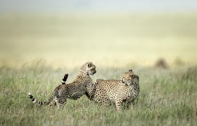 <h5>Cheetahs _D856682 </h5>