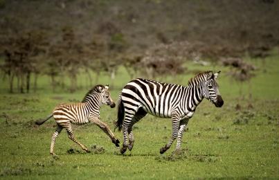 <h5>Zebras 2018_D856367 </h5>