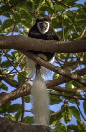 <h5>Colubus Monkey _D854966</h5>
