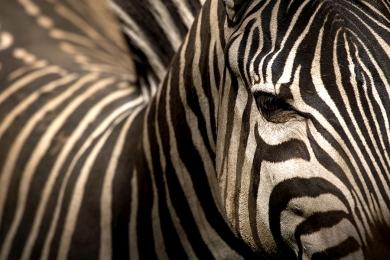 <h5>Zebra 2018_D855364</h5>