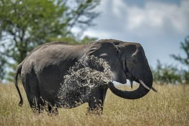 <h5>Elephant 6682</h5>