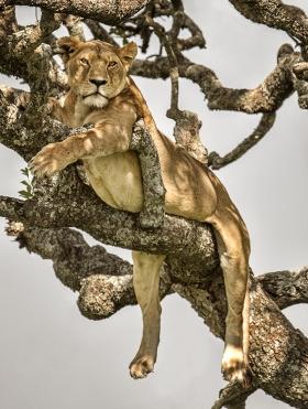 <h5>Tree Lion D858196</h5>