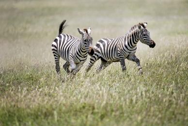 <h5>Zebras 2018_D859277 </h5>