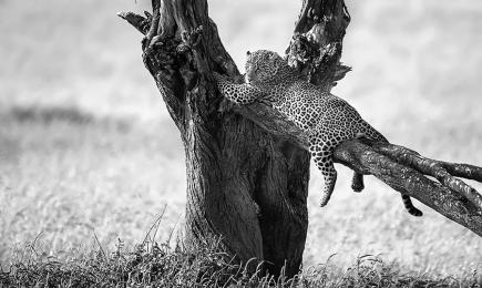 <h5>Leopard D859482</h5>
