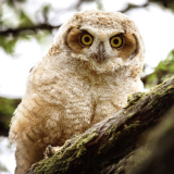 <h5>Great Horned Owl Fledgling</h5>