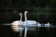 <h5>Swans _CWL3815</h5>