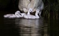 <h5>Swans _MVP7177</h5>