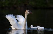 <h5>Swans _MVP7123</h5>