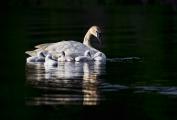 <h5>Swans _MVP7661</h5>