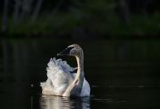 <h5>Swans _CWL4310</h5>