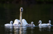 <h5>Swans _MVP7109</h5>