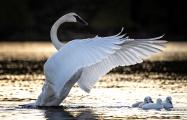 <h5>Swans _CWL3759</h5>