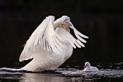 <h5>Swans _MVP6895</h5>