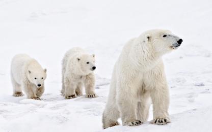 <h5>Polar Bears D820912.</h5>