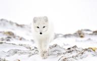 <h5>Arctic Fox 5009908</h5>