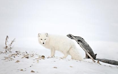 <h5>Arctic Fox_DZ6116 </h5>