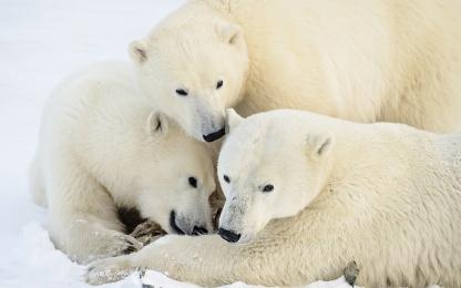 <h5>Polar Bears MVP7487</h5>