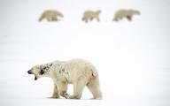 <h5>Polar Bears D859899</h5>