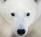 <h5>   PolarBearChurchill2016_CMV8511</h5>