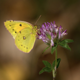 <h5>D856347w Clouded Yellow Butterfly</h5>