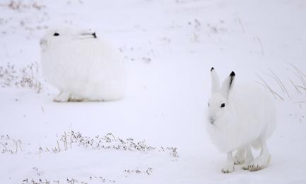<h5>Arctic Hares DZ79571</h5>